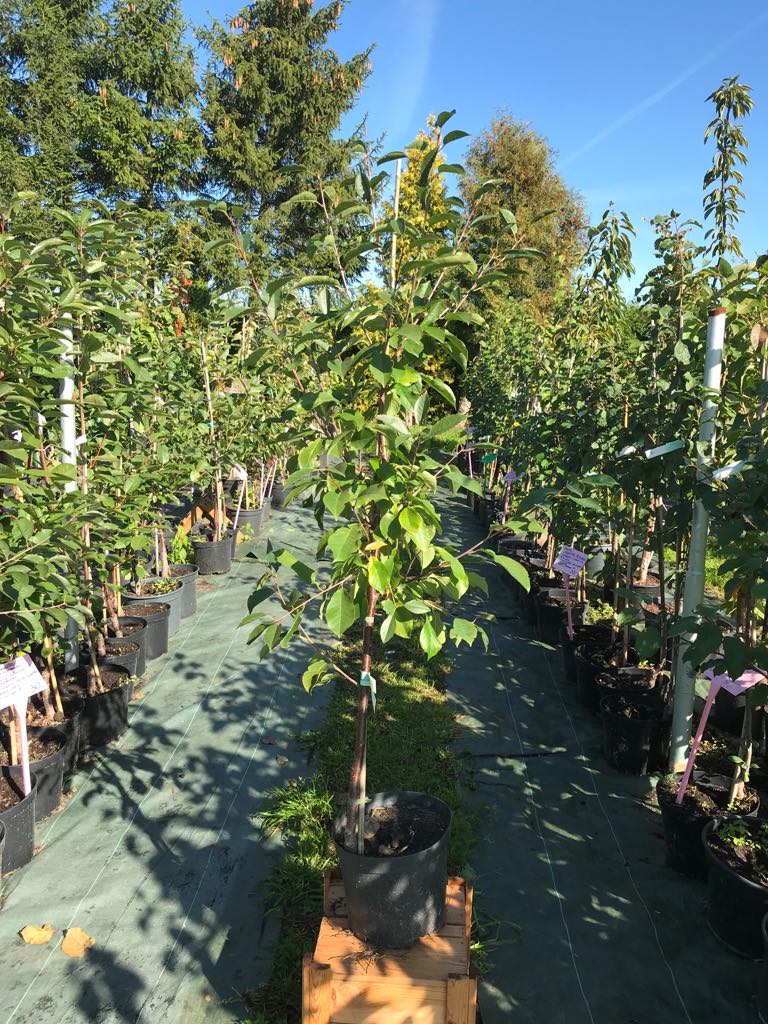 Wiśnie w odmianach w poj.7,5l
